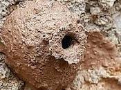 Diminutos nidos barro