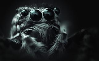 Las arañas saltarinas bebé ven sorprendentemente bien.