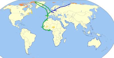 Correlimos tridáctilos en migración
