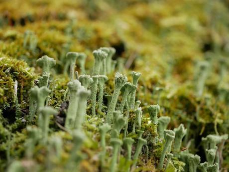 Cuál es la diferencia entre un liquen y un musgo, y qué papel tienen en la naturaleza