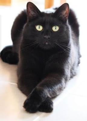 El gato tiene minerales en la cadena de sangre que lo hacen reikiano.