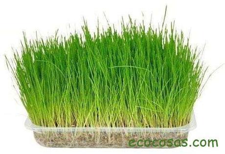 hierba-gatera-purgante-fibra-gatos-fina