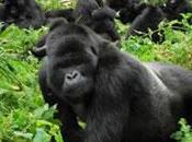 Safaris gorilas Rwanda