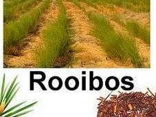 Rooibos: nueva estrella mediática