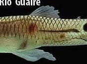 Historia Guppy Poecilia reticulata