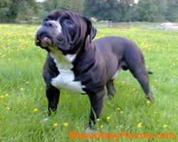 fotos Alapha blue blood bulldog