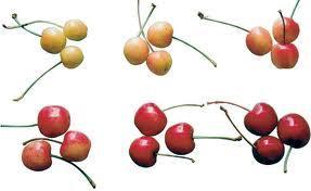 Frutas climatéricas y Frutas no climatéricas