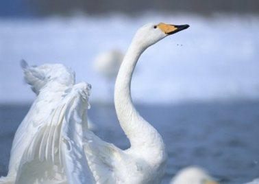 La gestión rompe con los cisnes blancos