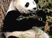 glotonería panda otras adaptaciones evolutivas permiten dieta base bambú