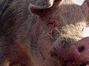 ¿Por musulmanes comen cerdo?