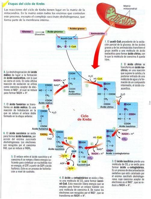For Dummies Krebs Cycle For Dummies