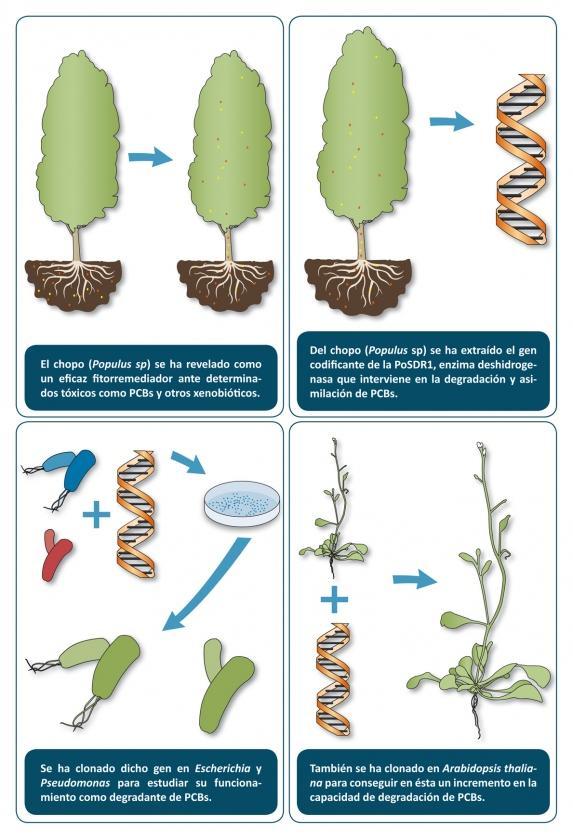 fitorremediacion-chopo-PCBs-PoSDR1-Arabidopsis-Pseudomonas-Escherichia