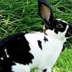 Enano Angora Micro Canela - Conejo