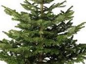 ¿Cómo debe cuidar árbol natural Navidad?. Cuidados básicos para abetos naturales