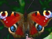 Cazador mariposas