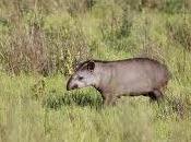 tapir, desconocido jardinero bosques sudamericanos