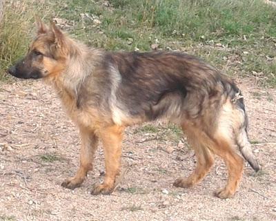 ¿Os acordáis del pastor alemán encontrado hace tiempo en un estado lamentable?... Está recuperado y busca hogar. (Valencia)