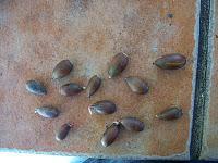 Coscoja (Quercus coccifera)
