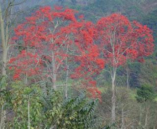 Bucares y Apamates, árboles monumentales del Trópico. Juan Calzadilla nos los comenta en su poesía