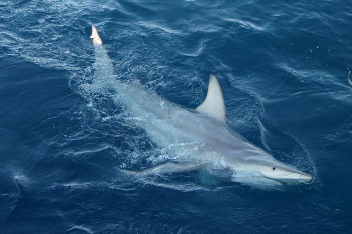 Encuentran en Australia los primeros tiburones híbridos
