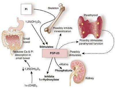 Una hormona relacionada con el aumento del riesgo de muerte en enfermedades renales