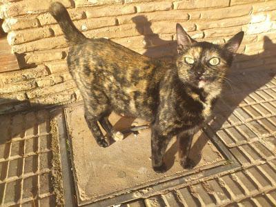 Agatha y Amaya, preciosas gatitas en peligro (Murcia)