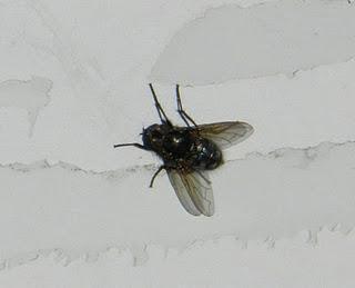 Las moscas forenses