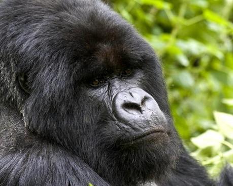 Gorilla-beringei-beringei-750x600