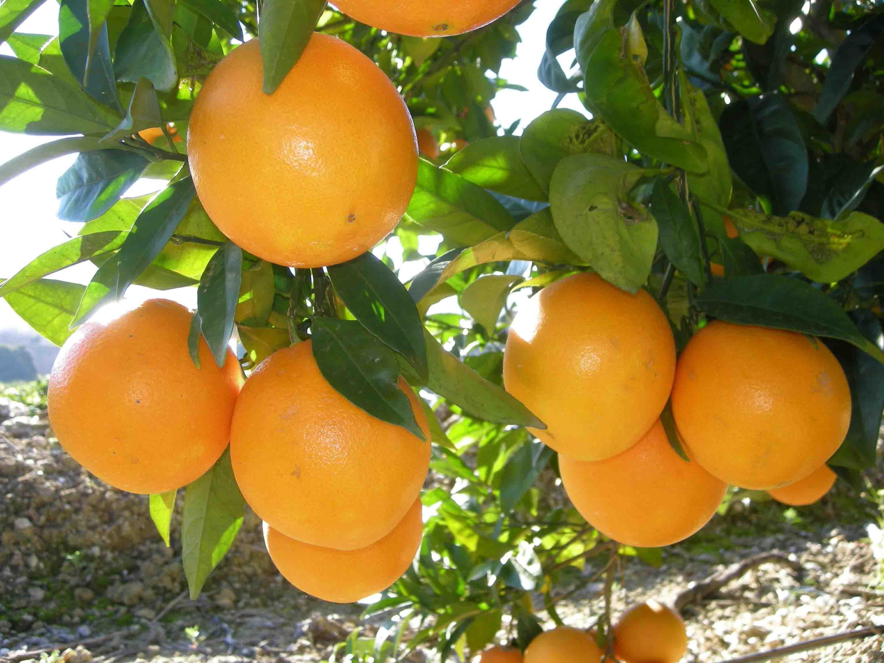 Naranjas - Naranjamania.com