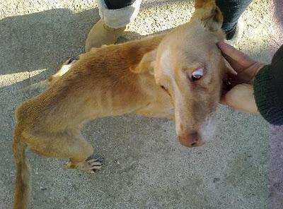 Kami, podenco esquelético y consumido,abandonado varias veces en la perrera por no saber cazar.