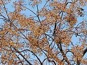 Cinamomo (Melia azedarach