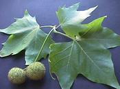 Plátano sombra, híbrido (Platanus hispánica platanus hybrida)