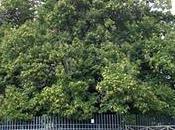 castaño cien caballos: árbol viejo grande Europa