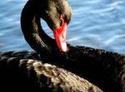 Decisiones: cisnes negros existen cómo beneficiarse ellos