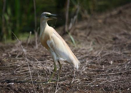 La Garcilla cangrejera (Ardeola ralloides) en Aragón - (Squacco Heron - Rallenreiher - Ralreiger).