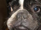 Amelia, bulldog Francés necesita ayuda.