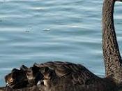 cisnes negros existen. Cómo beneficiarse ellos