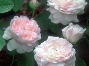 Rosales ingleses, rosas David Austin: breve historia