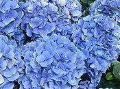Algunas flores azules para jardín