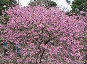 Sakura Okinawa