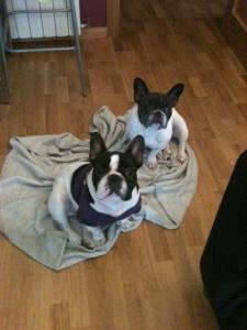 Juliette, mi nuevo Bull Dog Francés