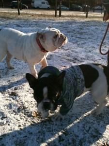 La responsabilidad de adoptar un perro, mas si es un Bull Dog