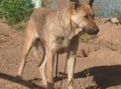 FURIA, preciosa perra jovencita, cruce pastor alemán, adopción urgente. (Córdoba)