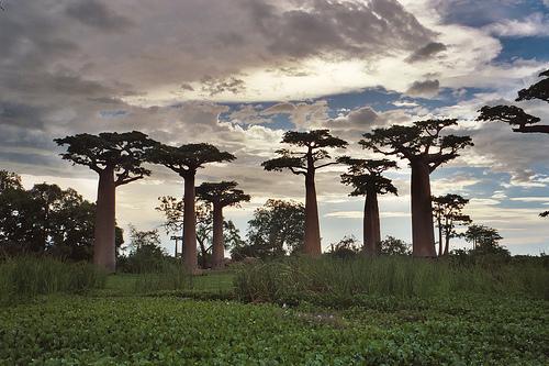 AFRICA- El Baobab, el