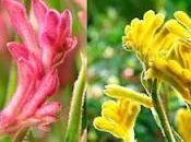 Plantas: Patas canguro