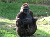 genoma gorila, secuenciado