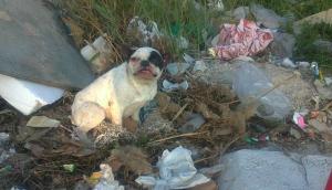 Los Bulldog Francés de la calle, la otra cara de la moneda