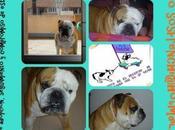 Bulldog Inglés Adopción